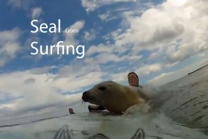 Seal Rides Along With Surfers
